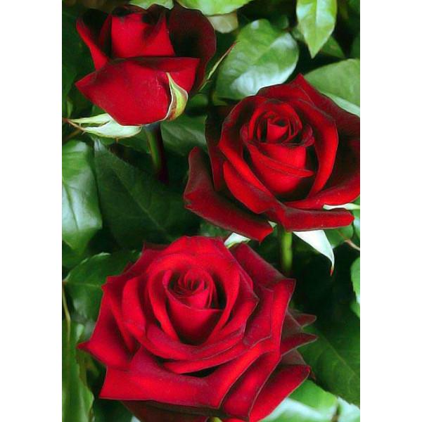 Роза чайно-гибридная Норита